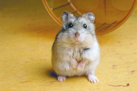 hamster emma